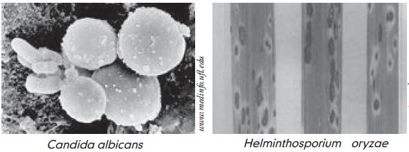 Penyakit helminthosporium maydis pada jagung - streetcolor.hu