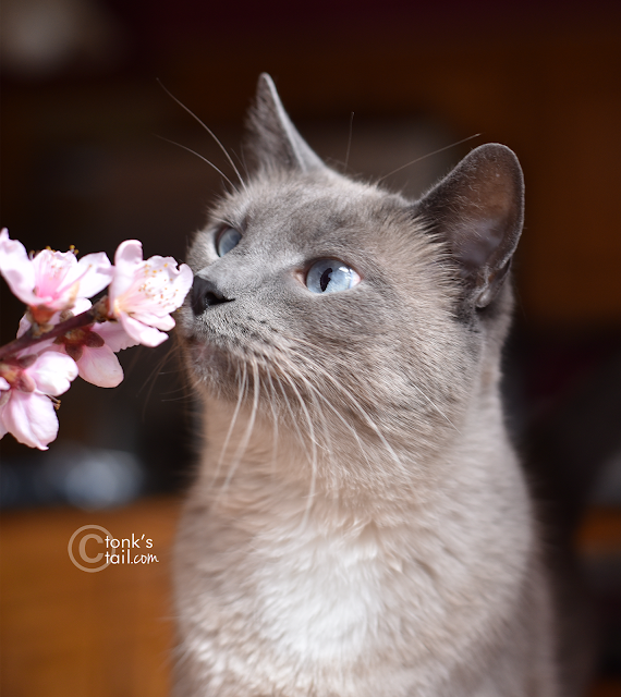 Maxie inspects the peach blossoms off our tree