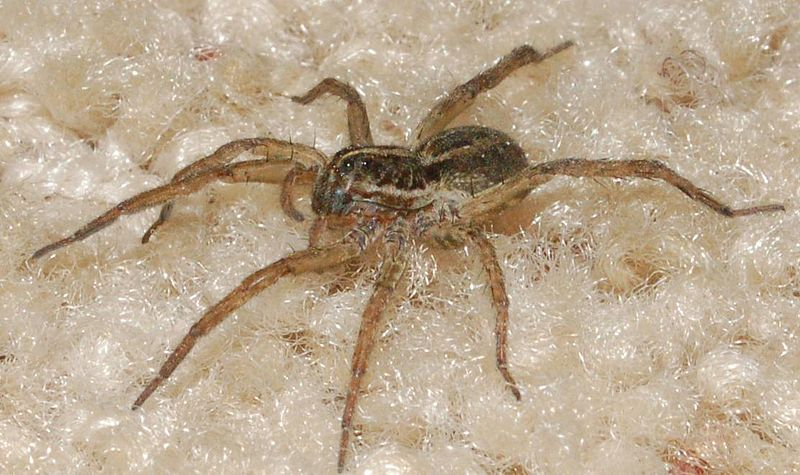 Prime Pest Solutions Wolf Spiders