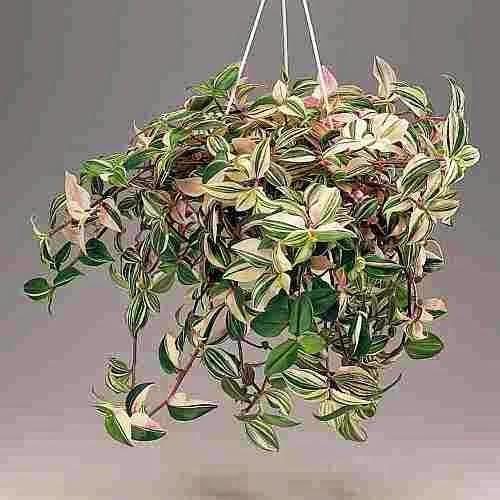 Полезное комнатное растение Традесканция.