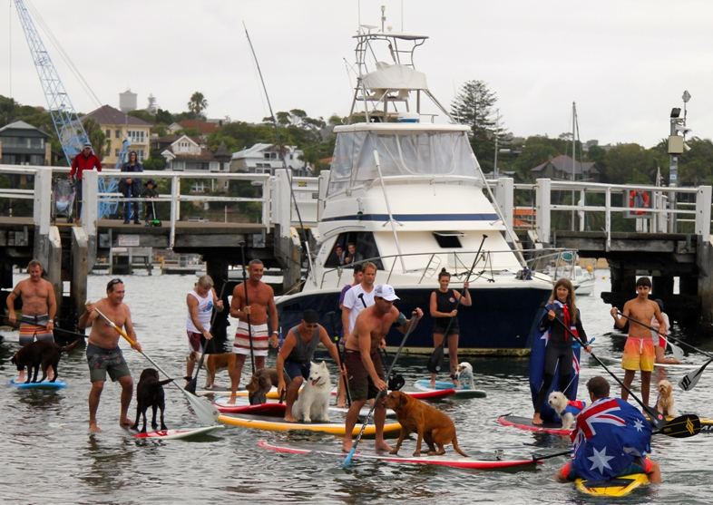 Stand-up paddlers with their dogs on the boards in Watsons Bay Sydney