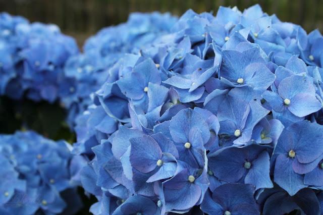 Hortensie mit blauen Blüten im Garten