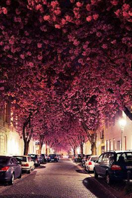 Calle con flores de cerezo