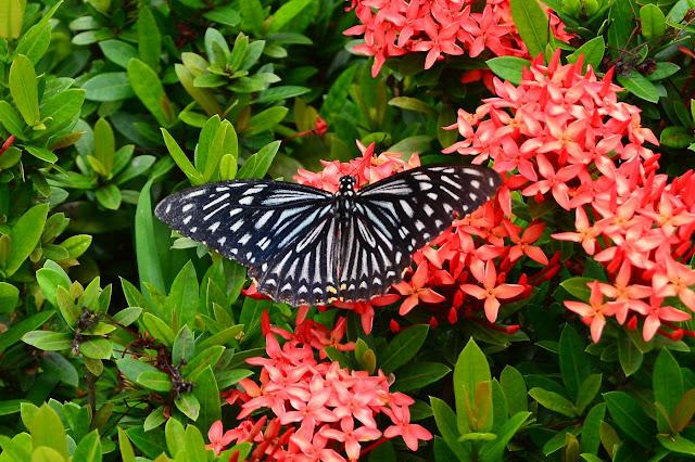 Papilio clytia