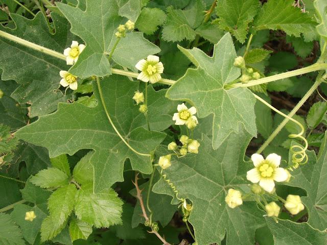 NUEZA: Bryonica cretica subsp. dioica