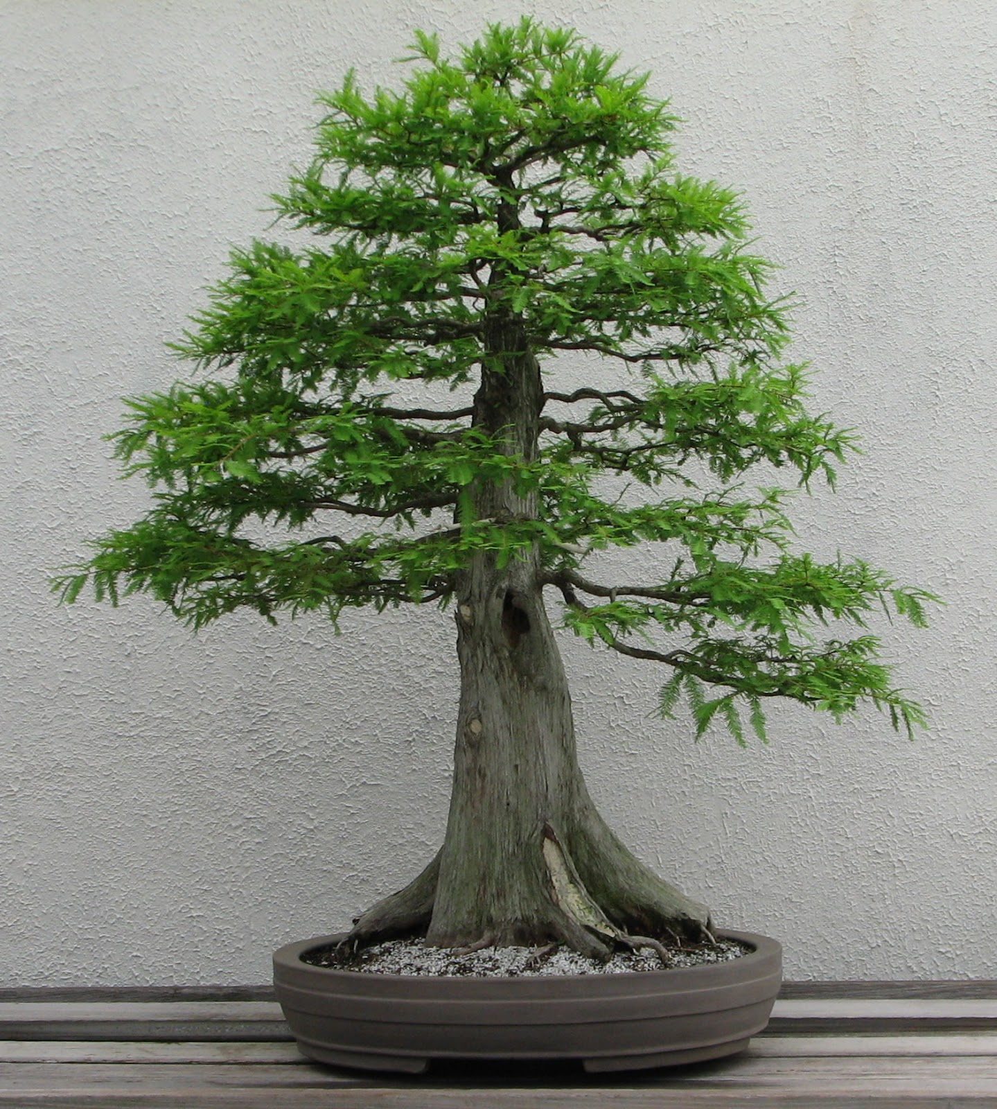 An Introduction To Bonsai History Cultivation And Size
