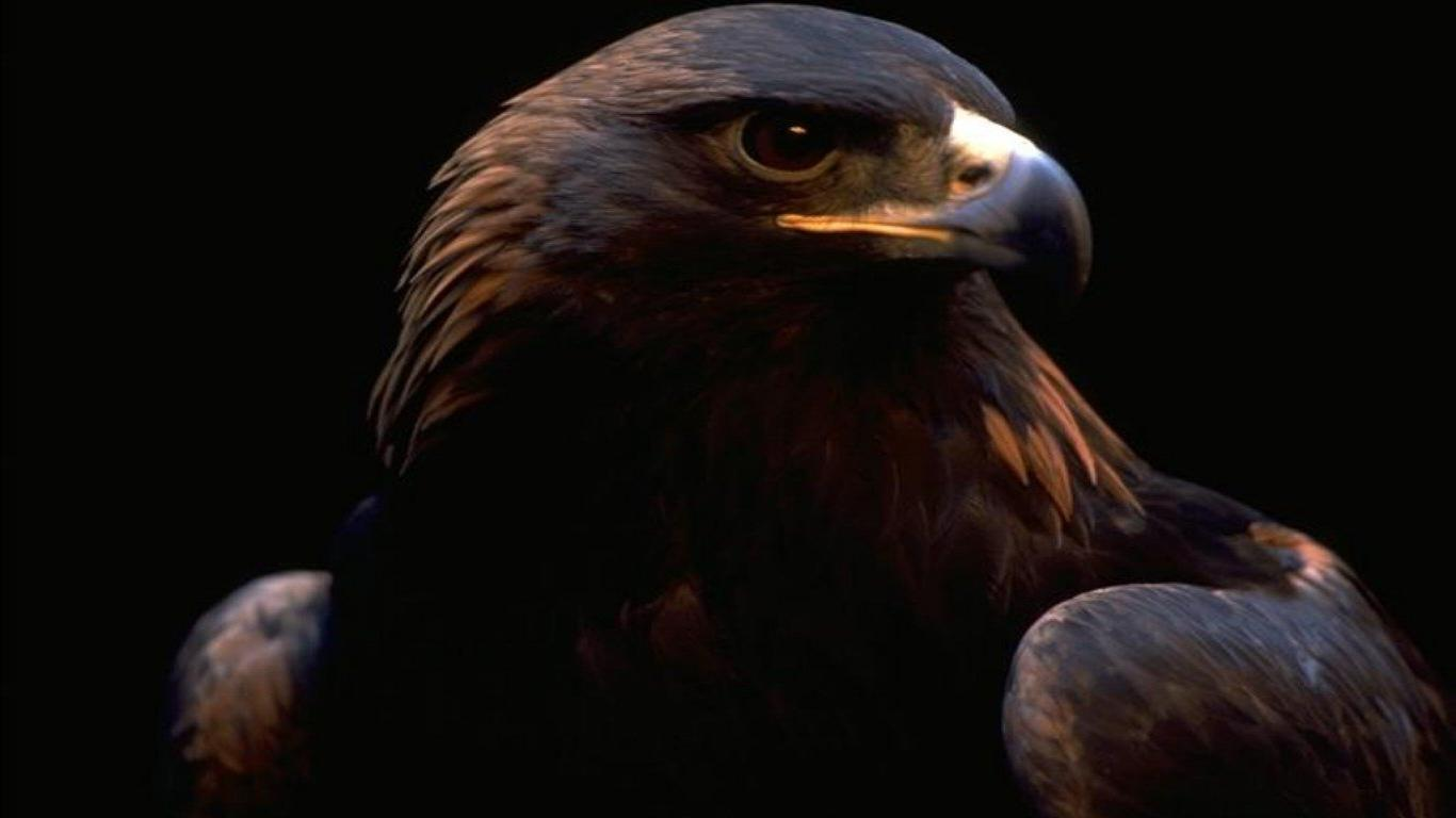 Eagle Bird Full HD 1080p Wallpapers Images And Photos Free ...