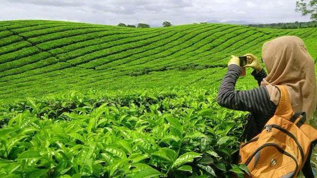 Kebun teh bukit daun bengkulu
