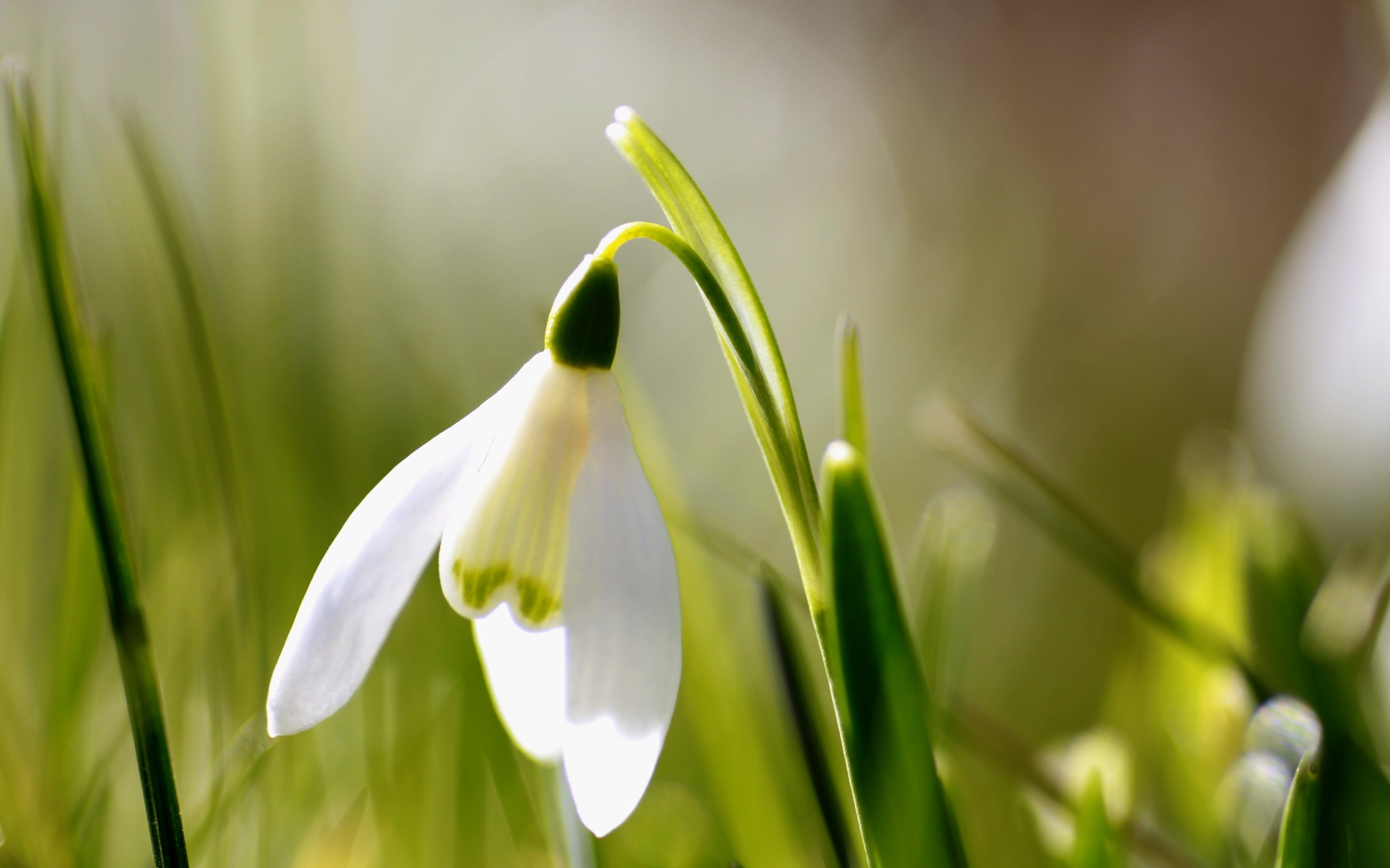 Snowdrop and Spring is ing HD Wallpapers · 4K