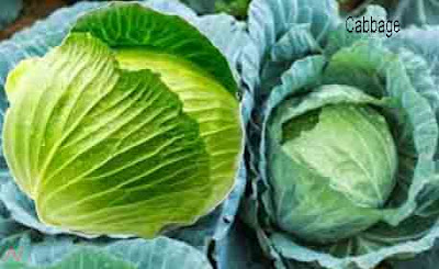 cabbage; cabbage vegetable