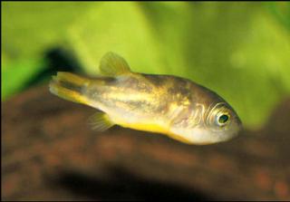 Ikan Buntal Air Tawar Malbar Puffer