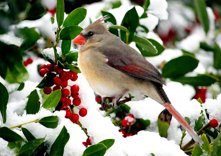 Cardinal and Holly