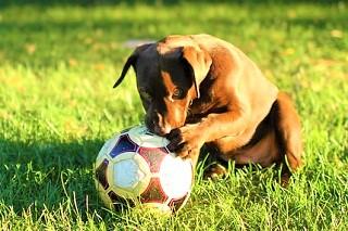 子犬(レトリーバー)写真