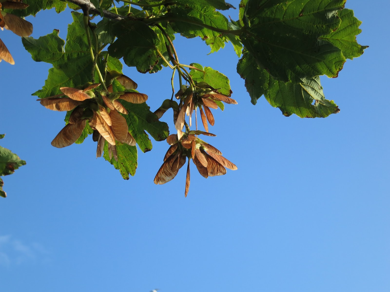 Sycamore or maple seeds and leaves against blue sky