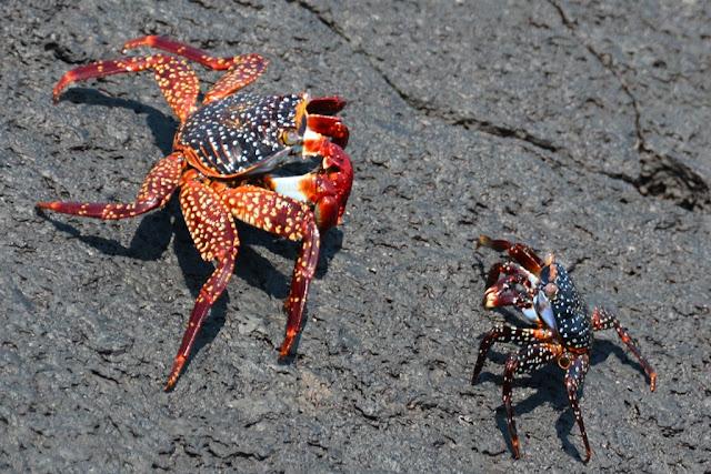 Punta Morena crabs