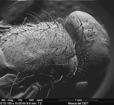 Il dorso di una mosca coperto di peli.  Insieme alle altre 120.000 specie conosciute di ditteri, questo insetto è comparso sulla Terra più di 250 milioni di anni fa.   Si tratta per lo più di insetti di piccole dimensioni, come quelli che volano abitualmente nelle nostre case, ma alcune specie tropicali, per esempio le Pantophthalmidae, possono arrivare ad avere un'apertura alare di 9-10 centimetri.