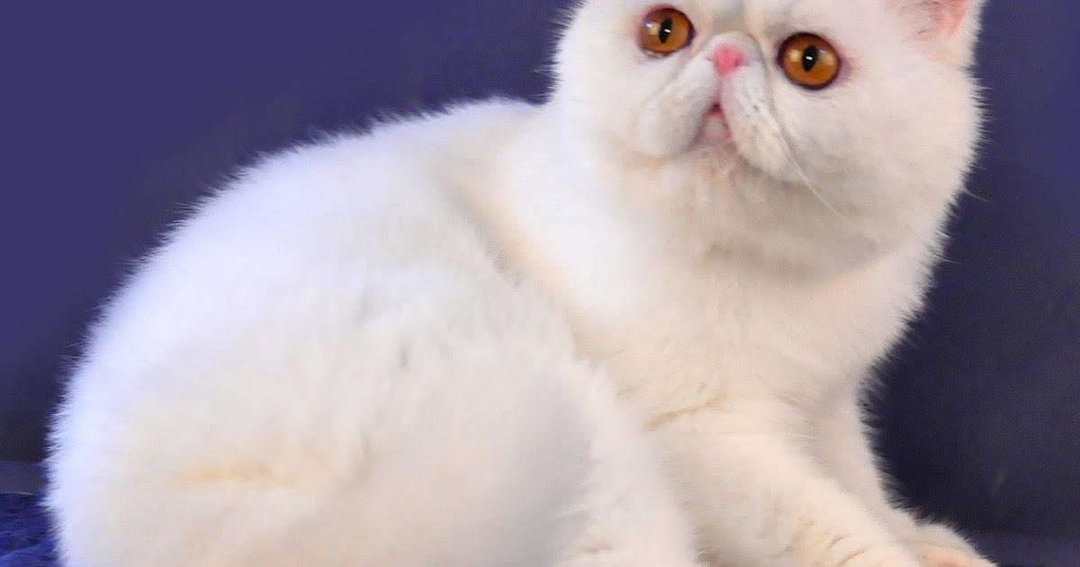 Kucing Persia Russian Blue Mengenal Kucing Jenis Russian