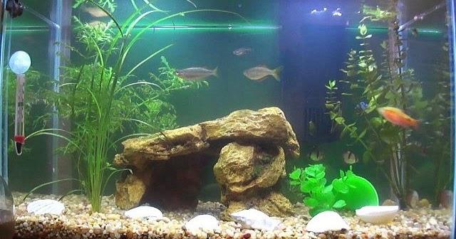 Dekorasi Aquarium Air Tawar Sederhana Hemat Biaya