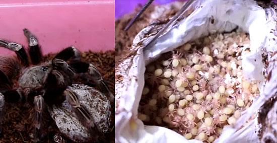 Vídeo de nascimento de tarântulas faz sucesso na internet