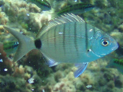 Geißbrasse - Diplodus sargus © Canarian Sea 01