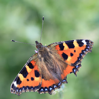 Small tortoiseshell butterfly (Nymphalidae aglais). Photo via Adobe Stock.