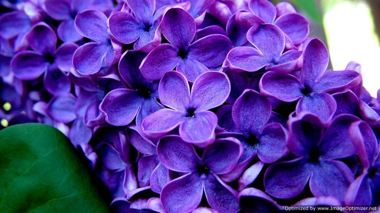 Lilac Desktop Wallpaper Free Hd Wallpaper