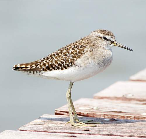 Birds of India - Photo of Wood sandpiper - Tringa glareola