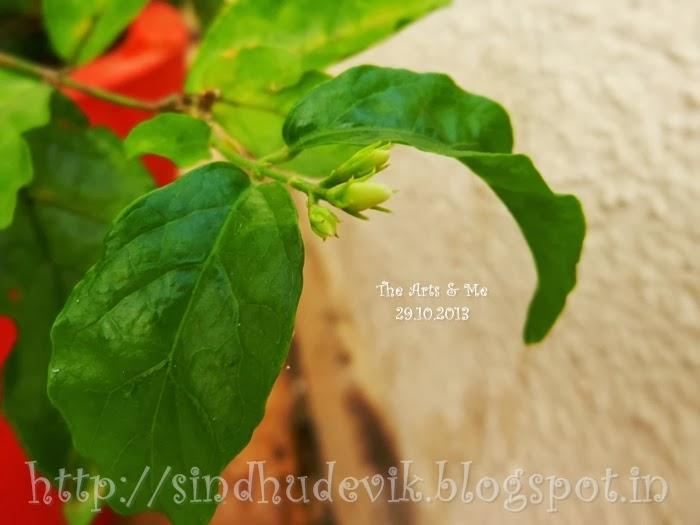 Few more flower buds of Mangaluru Mallige or Shankarapura mallige