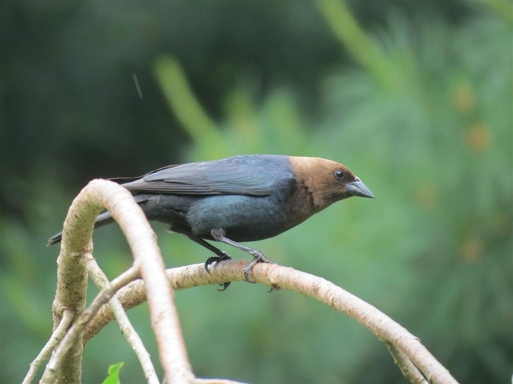 For The Birdies Part Of My Post I Am Sharing Brown Headed Cowbird And A Redbellied Woodpecker Above