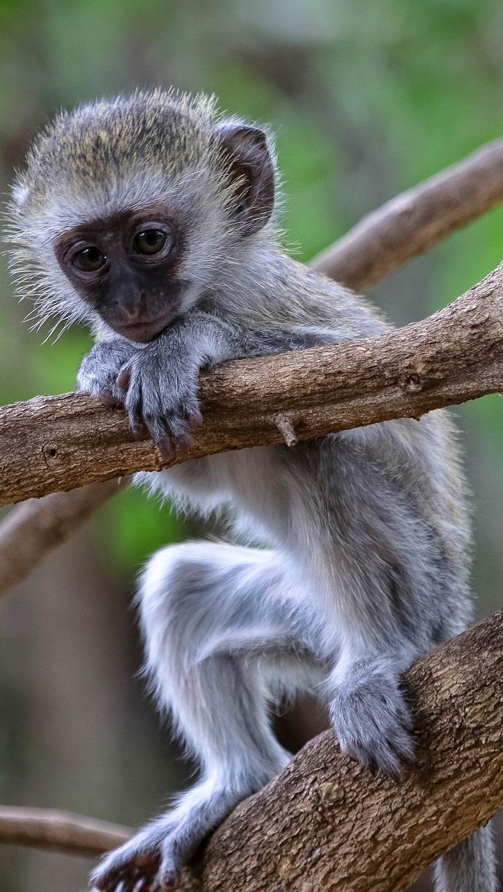 A cute baby monkey.