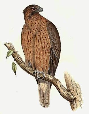 Águila calzada australiana Hieraaetus morphnoides