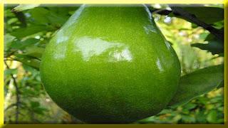 gambar buah alpukat, apokat