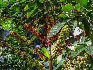 penyakit-penyakit-tanaman-kopi.jpg