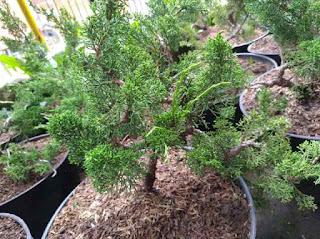bonsai-cemara-sargenti.jpg