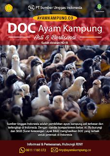 DOC ayam kampung PT SUI Sumber Unggas Indonesia