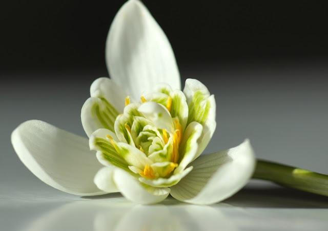 Galanthus nivalis 'Flore Plena'