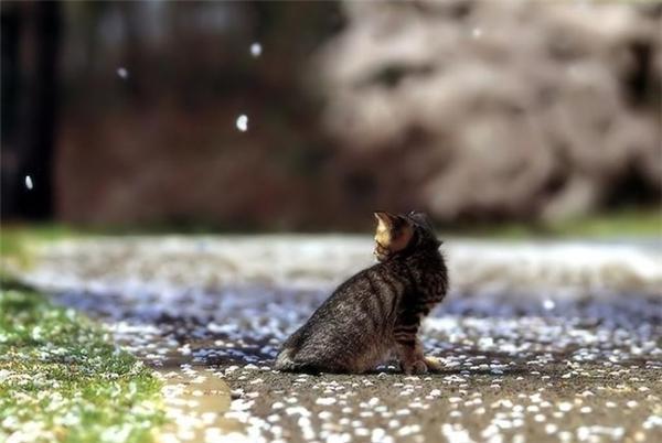 """Khi mèo và hoa anh đào """"song kiếm hợp bích"""""""