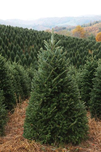 Christmas Tree Farm Asheville Nc.A Free Daily Visitor Guide For The North Carolina Mountains