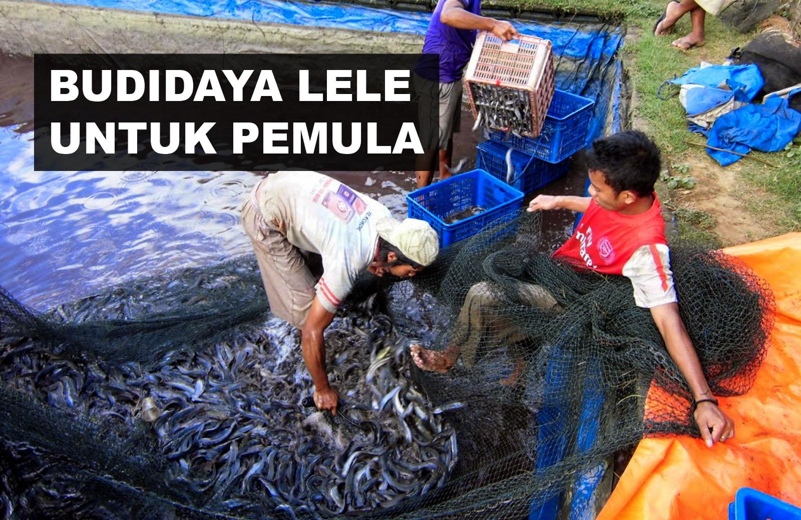 Cara Budidaya (Ternak) Ikan Lele Untuk Pemula - WAKWUK