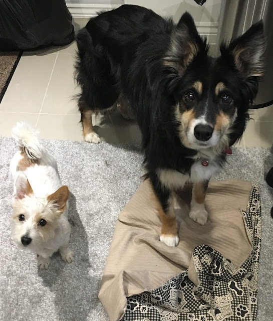 long haired jack russell and border collie