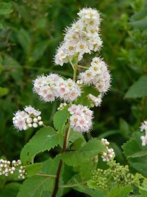 White meadowsweet Spiraea alba var. latifolia at Skyline Trail Cape Breton Highlands National Park by garden muses-not another Toronto gardening blog
