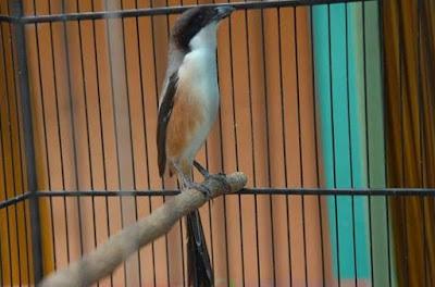 8 Cara Dan Tips Akurat Membuat Burung Cendet Agar Nagen Pada Saat Di Lapangan Lomba