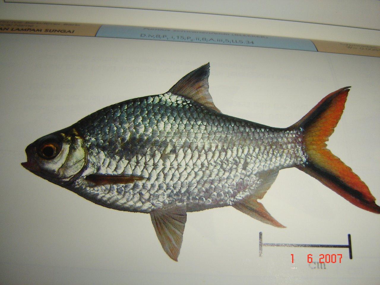 Kajian KHB Ikan Air Tawar | ! Chegu Zam