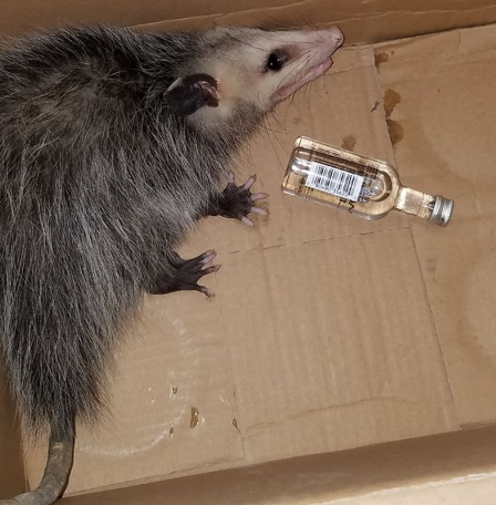 opposum breaks into liquor store