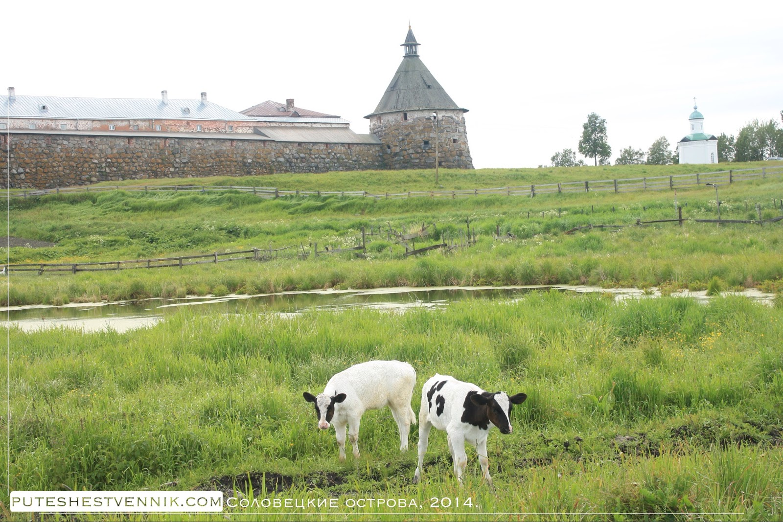 Коровы у Соловецкой крепости