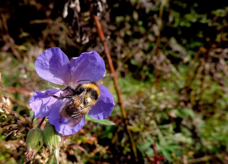 Geranium spp. sos-polinizadores-bee-abejas-abejorros-flores (14)