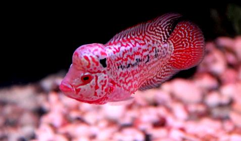 Mengenal Ciri Ciri Jenis Ikan Louhan Kamfa Yang Berkualitas Kontes
