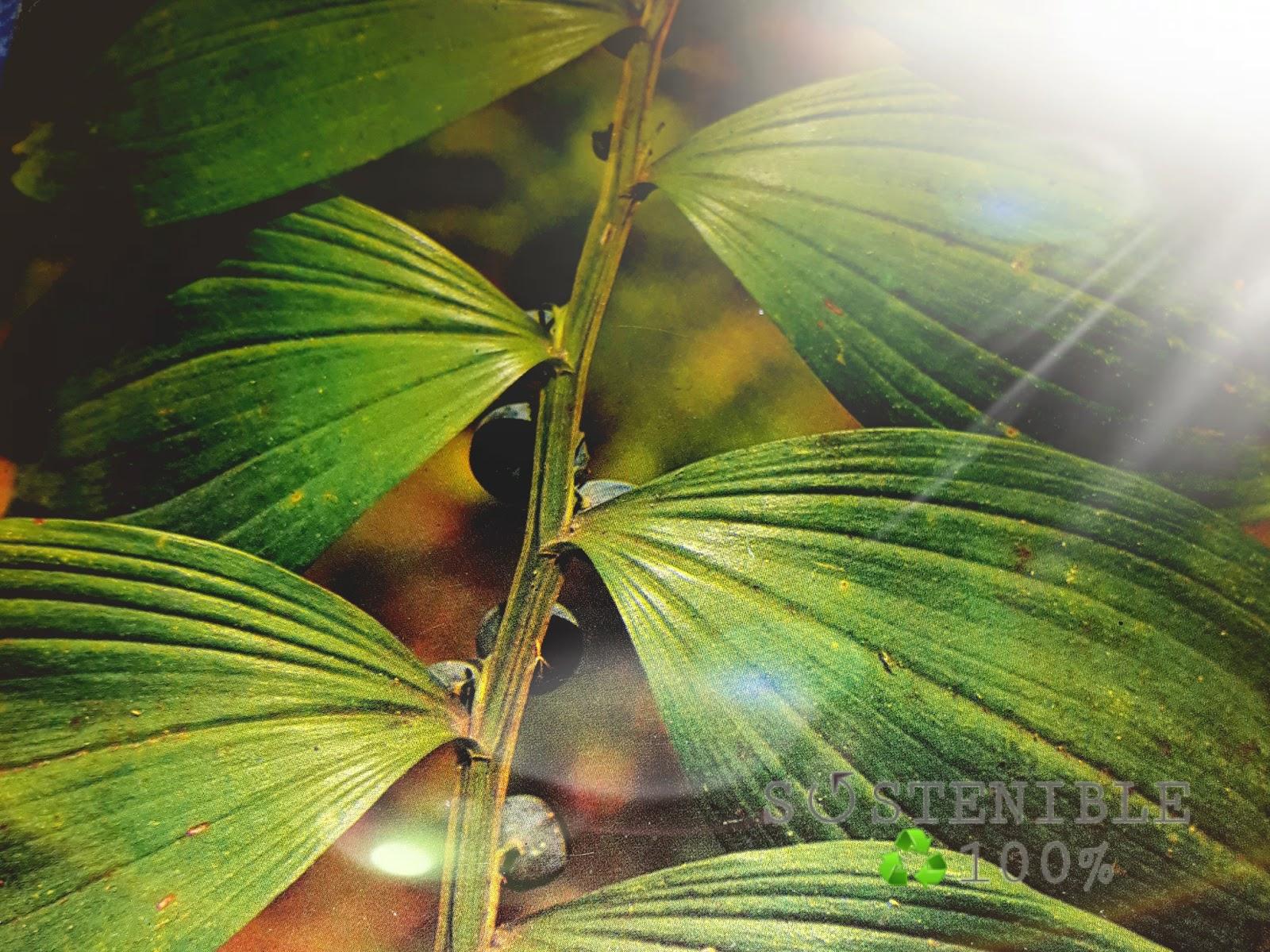 Plantas Medicinales: POLIGONATO (utilizado antiguamente para la gota ...