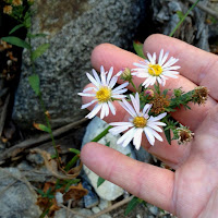 Leafy-daisy (Erigeron foliosus) at dry Fish Canyon Falls, Angeles National Forest