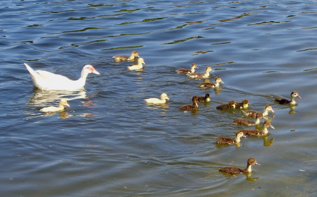 Mother muscovy and her brood of chicks and soms strays they've taken in, all swimming together